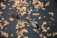 Two Ducks swimming in pond among red leaves stock photos