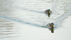 Two ducks swimming on a pond. Two ducks swimming on a rippling pond leaving clear wakes stock video footage