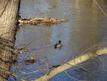 Two ducks swimming in rock creek park Stock Image