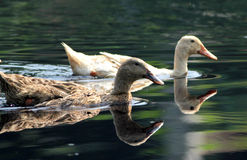 Two ducks. Swimming in the water Stock Image
