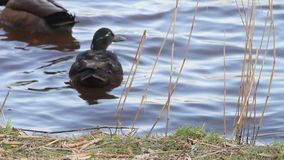 Two ducks swimming in water by a river bank. Two ducks swimming in water stock video