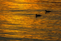 Two ducks swimming in the water at sunset Stock Photos