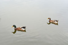 Two ducks swimming in water Stock Images