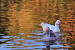 Two ducks swimming Royalty Free Stock Images