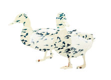 Two ducks with tadpoles pattern, double exposure Royalty Free Stock Photos