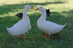 Two ducks talking to each other on the grass royalty free stock photography