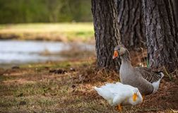 Two Ducks by a tree Stock Photo