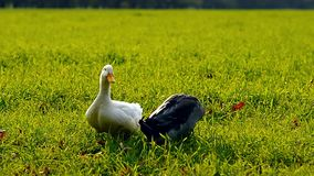 Two ducks walking in the grass. With a natural sound stock footage