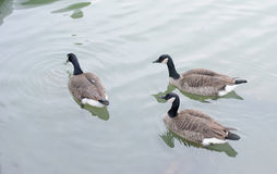 Two ducks watch the actions of the third duck. On the water Stock Photography