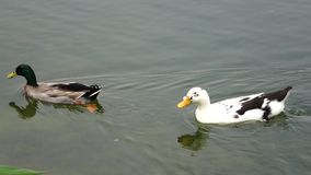 Two ducks. In the water stock video footage