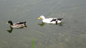 Two ducks. In the water stock video