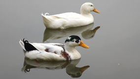 Two ducks. In the water stock footage