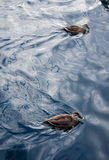 Two Ducks. Two of duck swims together on the blue water Royalty Free Stock Photo