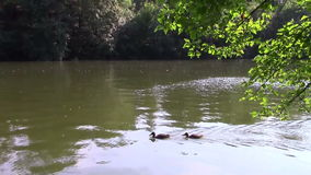 Two ducks on the water. Two ducks floating on the water stock video