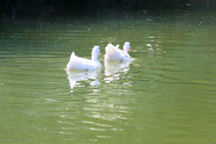 Two Ducks on water Stock Photography