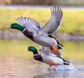 Two ducks are waving the wings. And are just flying off the lake Royalty Free Stock Images