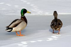 Two ducks in the winter Stock Image