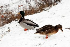 Two ducks in the winter on the snow. Two ducks in the winter on the white snow Stock Image