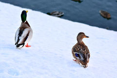 Two ducks in the winter Royalty Free Stock Images