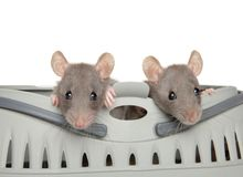 Two Dumbo rats peeking out of carrying. The theme of baby animals stock images