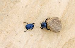 Two dung beetles battling with a large dung ball Royalty Free Stock Photos