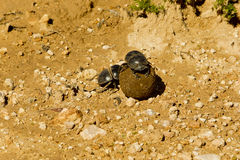Two dung beetles rolling a ball of dung Stock Photo
