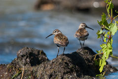 Two dunlins Stock Images