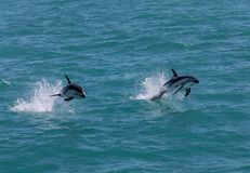 Two dusky dolphins Lagenorhynchus obscurus jumping out of the water near Kaikoura, New Zealand. These dolphins are known for their acrobatics stock photography