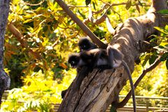 Two Dusky-Leaf Monkeys in Tree Royalty Free Stock Image