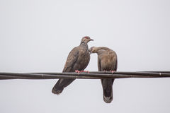 Two Dusky Turtle Doves in Love Royalty Free Stock Image