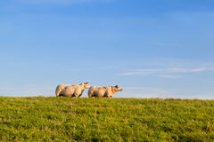 Two sheep on green pasture Royalty Free Stock Images