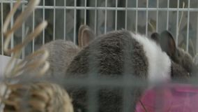 Two Dwarf bunnies eat alfalfa hay inside cage, sit. Camera pushes in on two Dwarf rabbits(Oryctolagus cuniculus) in a cage sitting still eating alfalfa hay stock footage