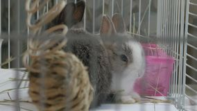 Two Dwarf bunnies eat alfalfa hay inside cage, sitting next to each other Stock Photography