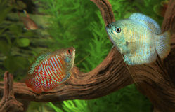 Two Dwarf Gouramis in an Aquarium Royalty Free Stock Images