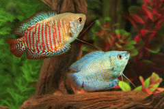 Two Dwarf Gouramis in an Aquarium Stock Photos
