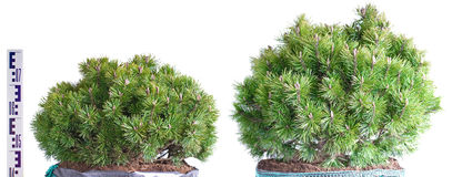 Two dwarf mountain pine in a pot. Isolated on white background Royalty Free Stock Images