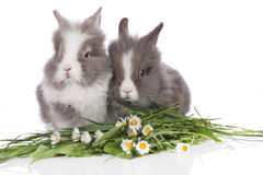 Two dwarf rabit on white background with flowers Royalty Free Stock Photography