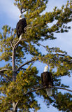 Two Eagles. Preched in a pine tree. They guard their territory while watching for an opportunity to catch an unsuspecting fish. Lite blue sky with a touch of stock image