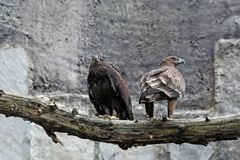 Two eagles. Two eagles sitting on the big log Royalty Free Stock Photography