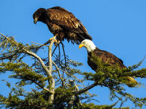 Two Eagles royalty free stock photos