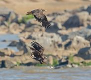 Free Two Eagles And A Fish In A Hard Place Royalty Free Stock Image - 146146376