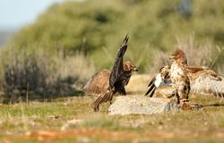 Eagles buzzards sticking in the field Stock Photo