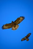 Two Eagles Flying High into the Sky stock image