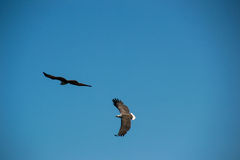 Two Eagles flying in sky Royalty Free Stock Image