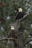 Two eagles perched. Stock Photo
