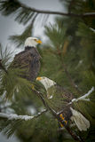 Two eagles perched on a branch. Stock Images
