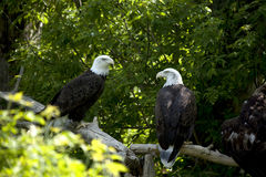Two eagles perched in trees. Stock Images