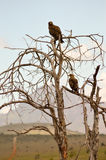Two Eagles ravisher on a tree Stock Photography