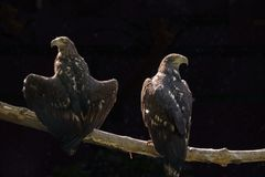 Two eagles are sitting on a tree branch on a dark background royalty free stock images