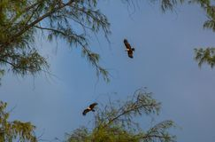Two eagles in sky among the tree`s branches royalty free stock photo